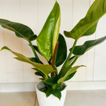 Philodendron-Imperial Green