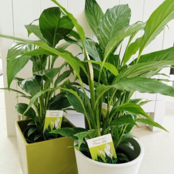 Peace Lily – Spathiphyllum